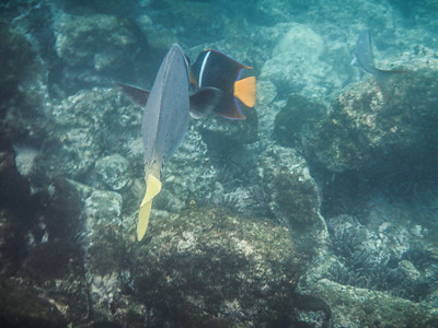 (l) Yellow-tailed Surgeonfish (Prionurus laticlavius) (r) King Angelfish (Holacanthus passer).