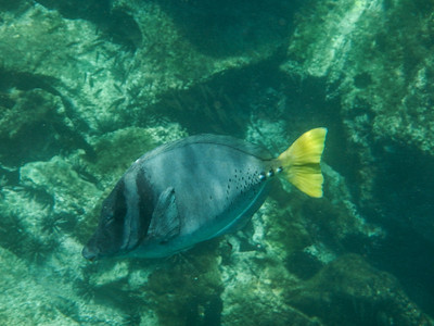 Yellow-tailed Surgeonfish (Prionurus laticlavius).