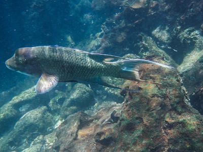 Mexican hogfish (Bodianus diplotaenia).