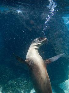 Galápagos sea lion (Zalophus wollebaeki).