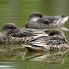 White-Cheeked Pintails