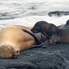Nursing sea lion pup