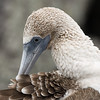Blue-Footed Boobie preening