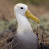 Waved Albatross on her nest