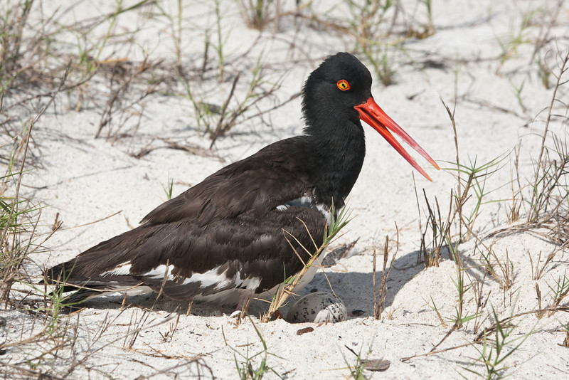 Oyster Catcher with egg