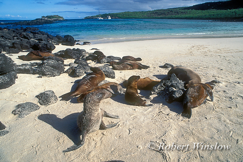 Sea Lions on Beach, Santa Fe Island, Galapagos Islands, Ecuador