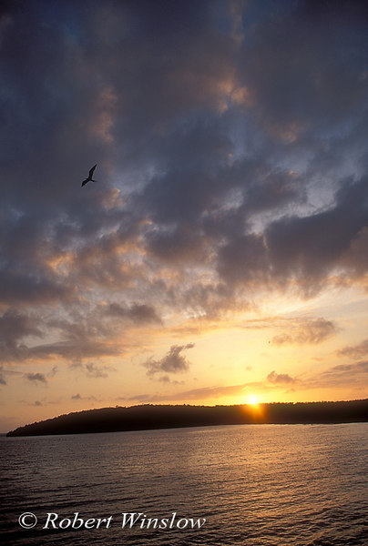 Frigatebird in Flight, Sunrise, Rabida Island, Galapagos Islands, Ecuador, South America, Pacific Ocean
