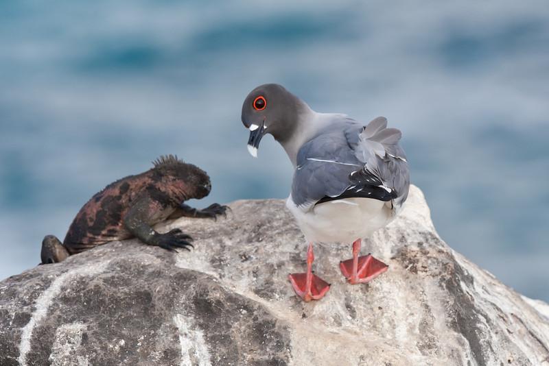 Swallow Tailed Gull with Marine Iguana