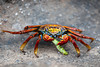 Sally Lightfoot Crab (munching on a caterpillar)