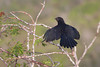 Smooth-billed Ani (a harmful species introduced to the Galapagos)