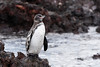 Galapagos penguin (in the rain)