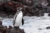 Galapagos penguin (in the rain)