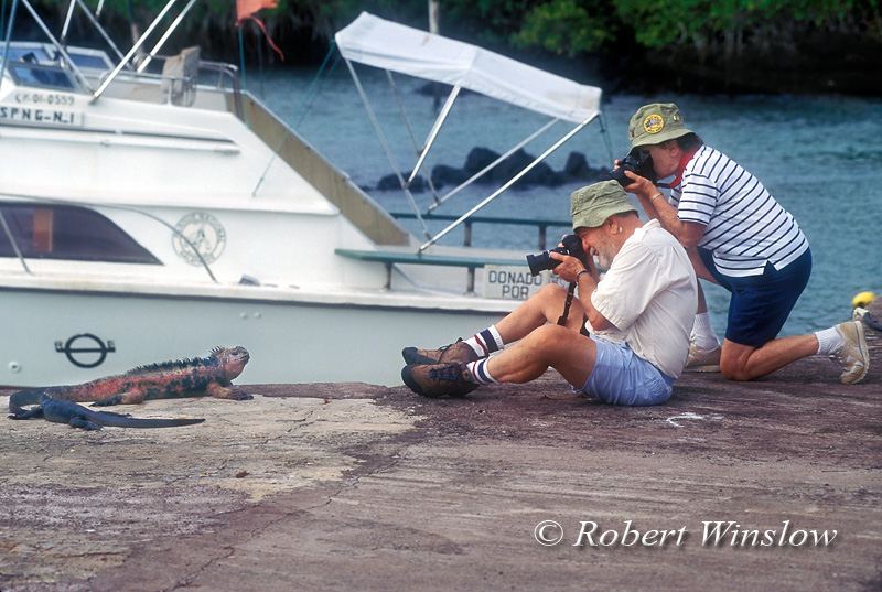 Model Released, Tourists Photographing Marine Iguana, Galapagos Islands, Ecuador