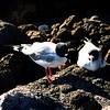 Swallow Tailed Gulls, N. Seymour Island
