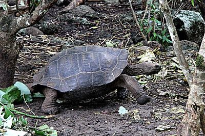 Galapagos Islands--Tortoises and iguanas