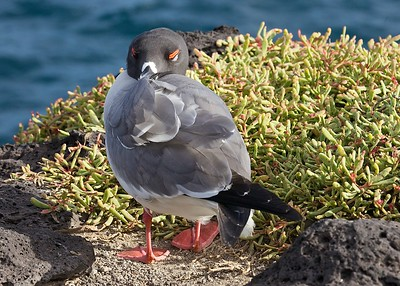 A Swallow-Tailed Gull Rests on South Plaza Island in the Galapagos