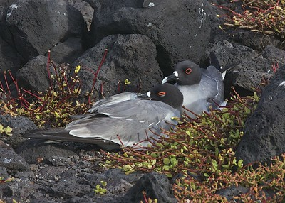 A Swallow-Tailed Gull Pair Rests on South Plaza Island in the Galapagos