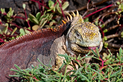 A Large Land Iguana Grazes in the Ice Plant on South Plaza Island in the Galapagos Islands