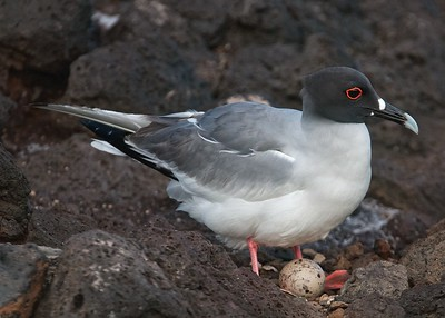 A Swallow-Tailed Gull Incubates Its Egg on a Pebble Nest on South Plaza Island in the Galapagos
