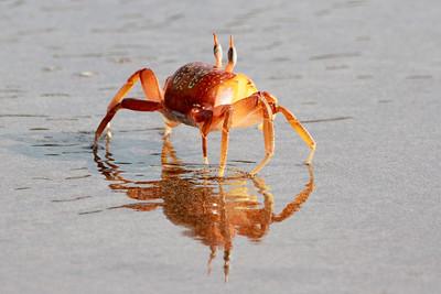 Galapagos Islands -- crabs and lizards