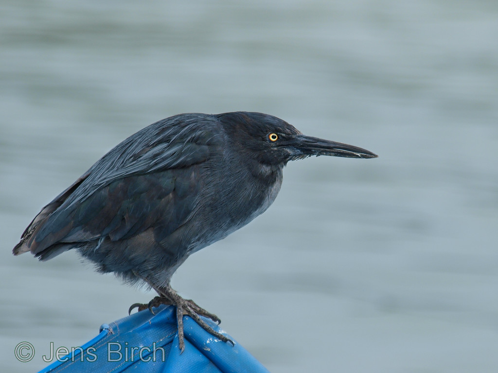 Lava heron on perch on a small fishing boat, Porto Ayora