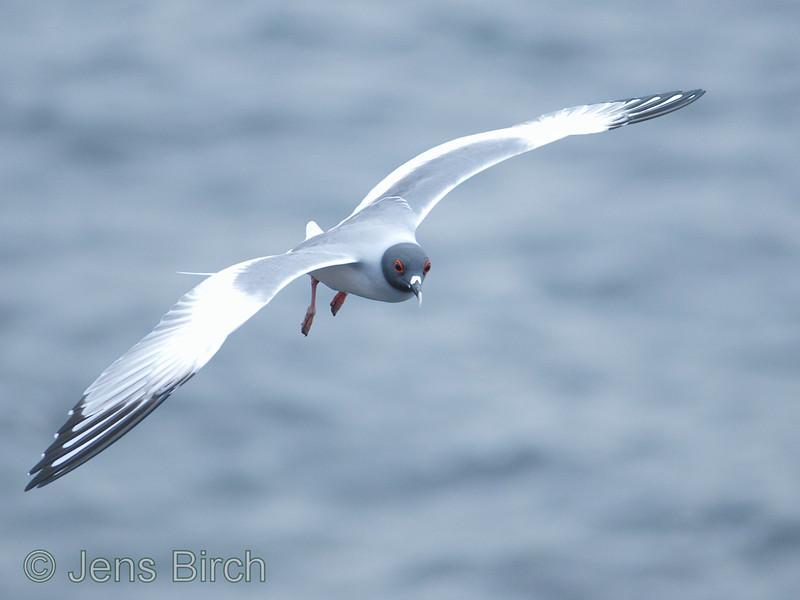 The beautiful swallow-tailed gull breeds along the shore of Darwin bay at Genovesa.