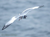 The beautiful swallow-tailed gull breeds along the shore of Darwin bay at Genovesa.