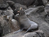 A female Galapagos fur seal has just arrived from sea in the early morning and calls for its puppy.