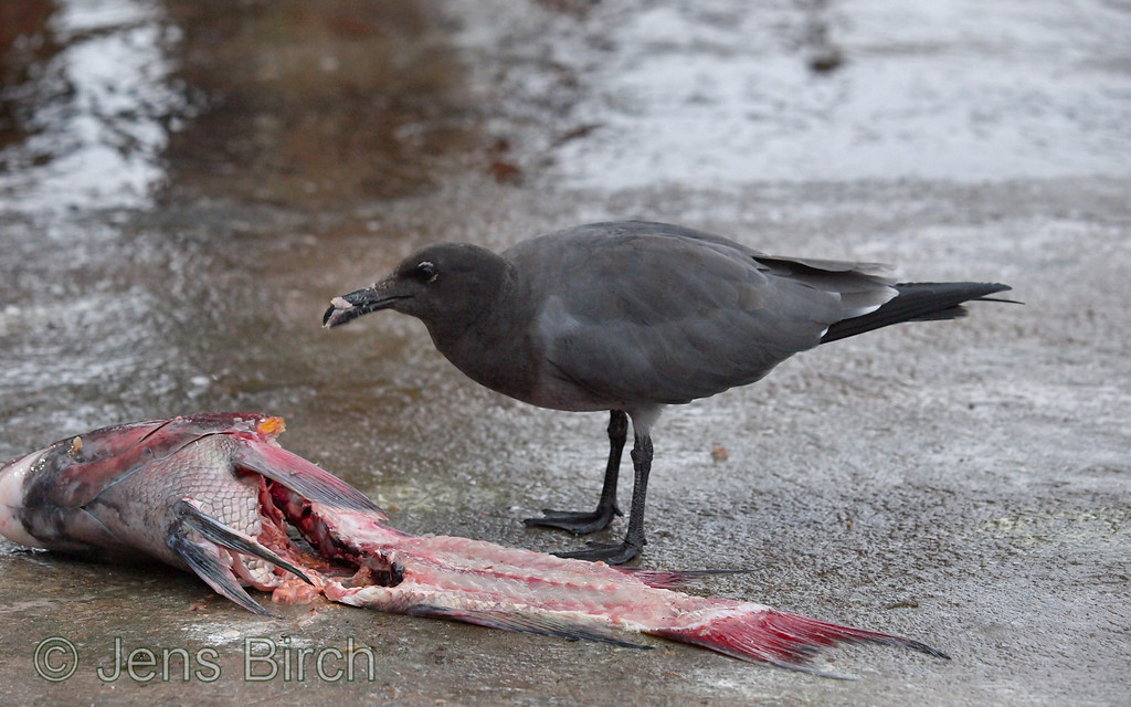 Lava gull finding something to eat. Porto Ayora, Galapagos