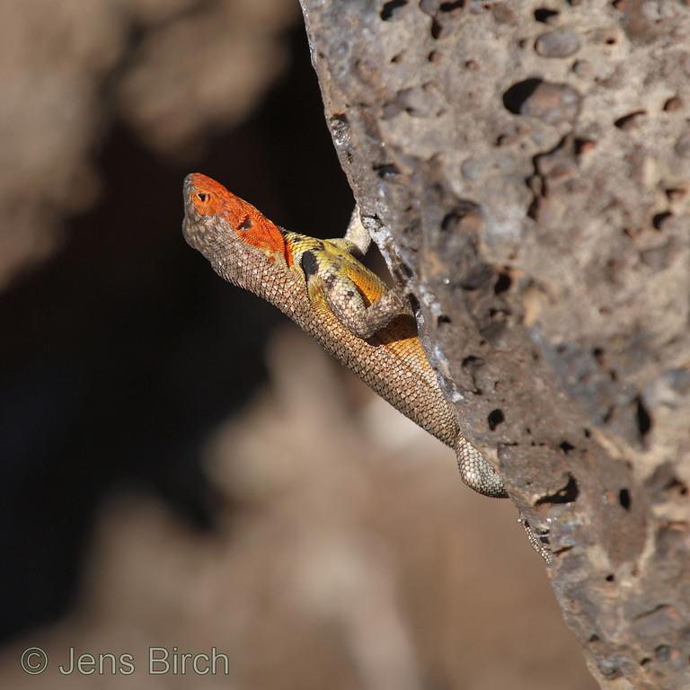 Lava lizard, Porto Ayora
