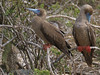 Red-footed boobies in mangroves along the shore of Darwin bay at Genovesa.