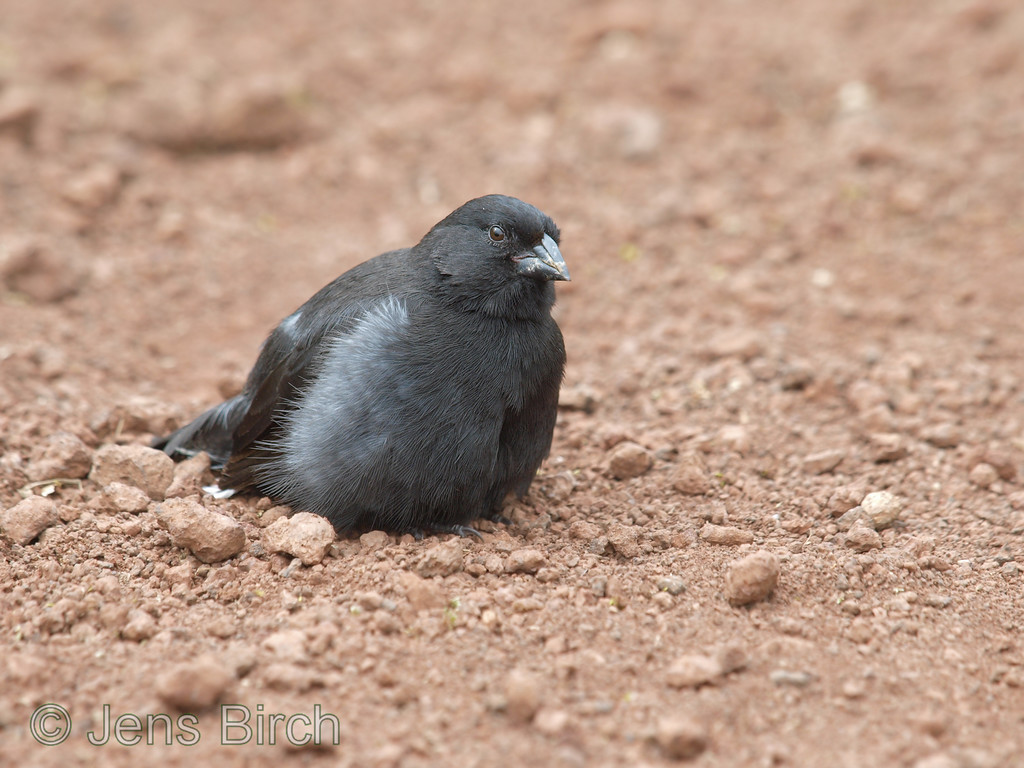 Small ground finch in the highlands at Santa Rosa.