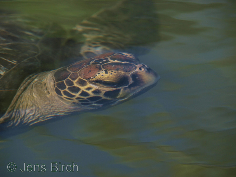 Soon up for a breadth of air! Green sea turtle in la Tortuga Negra.