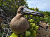 This red-footed booby touched the front lens element with its beak.