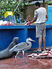 Fish landing in Porto Ayora, a Great blue heron and a sea lion are waiting for a meal.