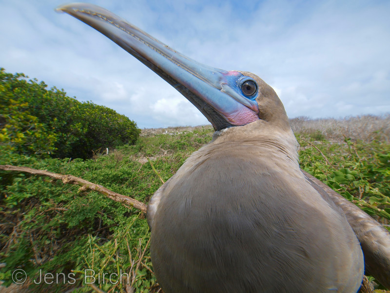 This redd-rooted booby was photographed with a 7 mm ultra-wide angle lens. It was so close that the lens cast the shadow that you can see on its breast.