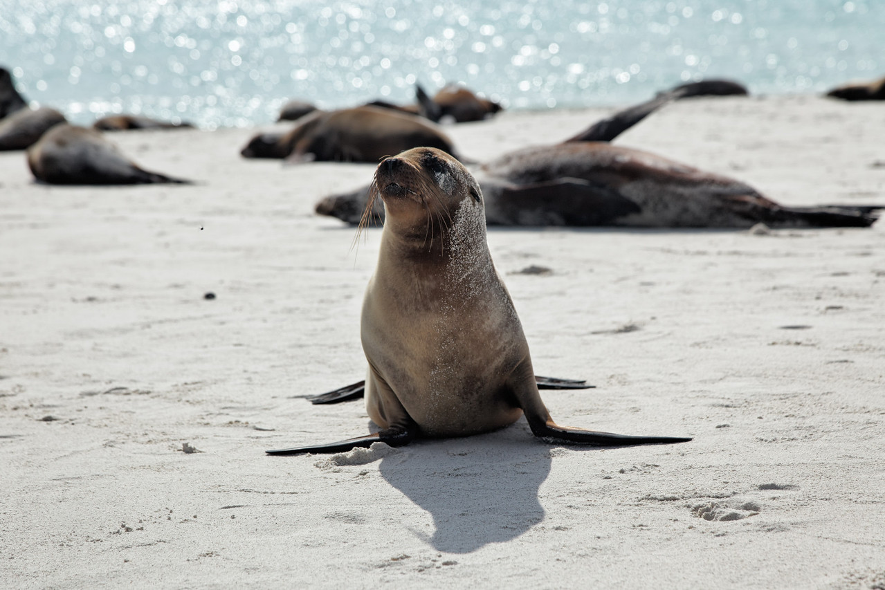 Sea Lions on the beach on Espanola Island
