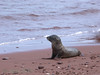 A sea lion cub looking for its mom at the red beach of Rabida.