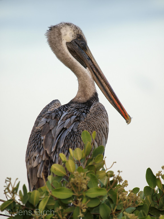 The brown pelican is also a very common animal at the Galapagos and can also be found in Porto Ayora.