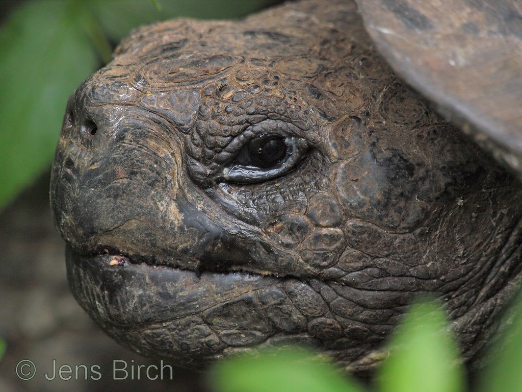A giant land tortoise in the highlands by Santa Rosa