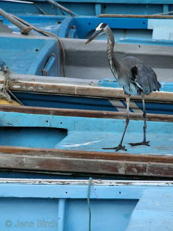 Great blue heron checking out if the fishermen have forgotten anything in their boats. Porto Ayora.