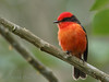 Vermillion flycatcher in the highlands around Santa Rosa