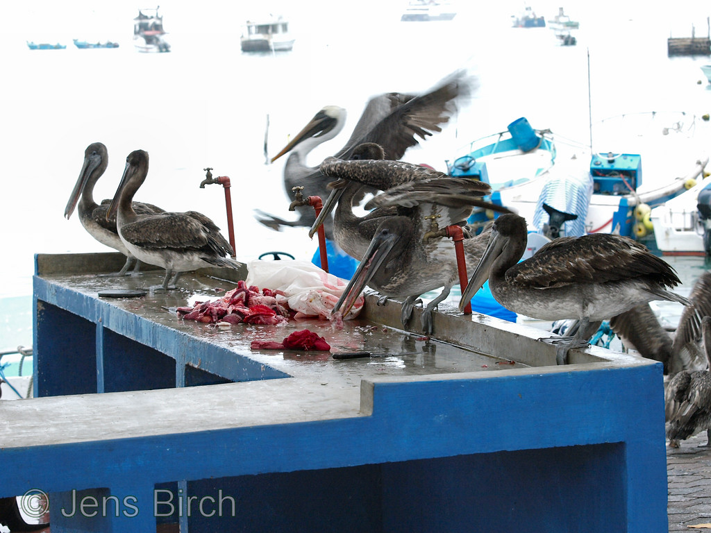 Brown pelicans in for a feast on the fish offal.