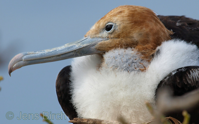 Close-up of another juvenile great frigatebird.