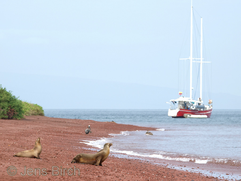 The red beach at Rabida hosts Galapagos sea lions (same species as Californian sea lion) and brown pelicans.