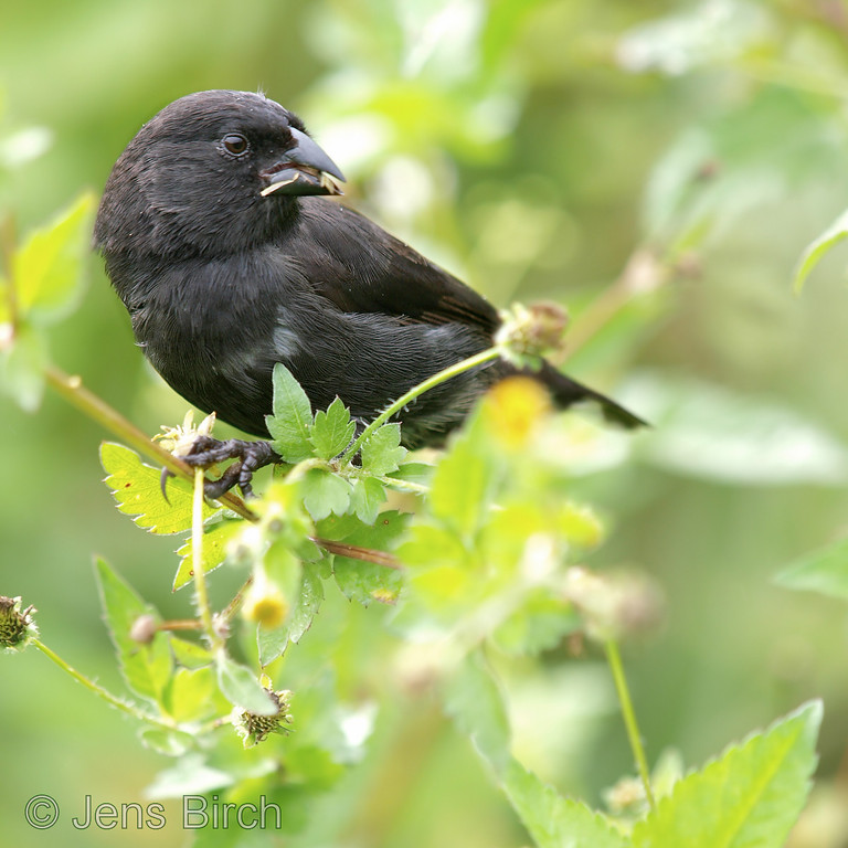 Small ground finch in the highlands at Santa Rosa. This is one of the species of Darwin finches that, among other animals, led Charles Darwin to the conclusion that life forms evolve based on the conditions they face in their environments.