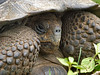 A giant tortoise peeking out of its protective shell, highlands around Santa Rosa