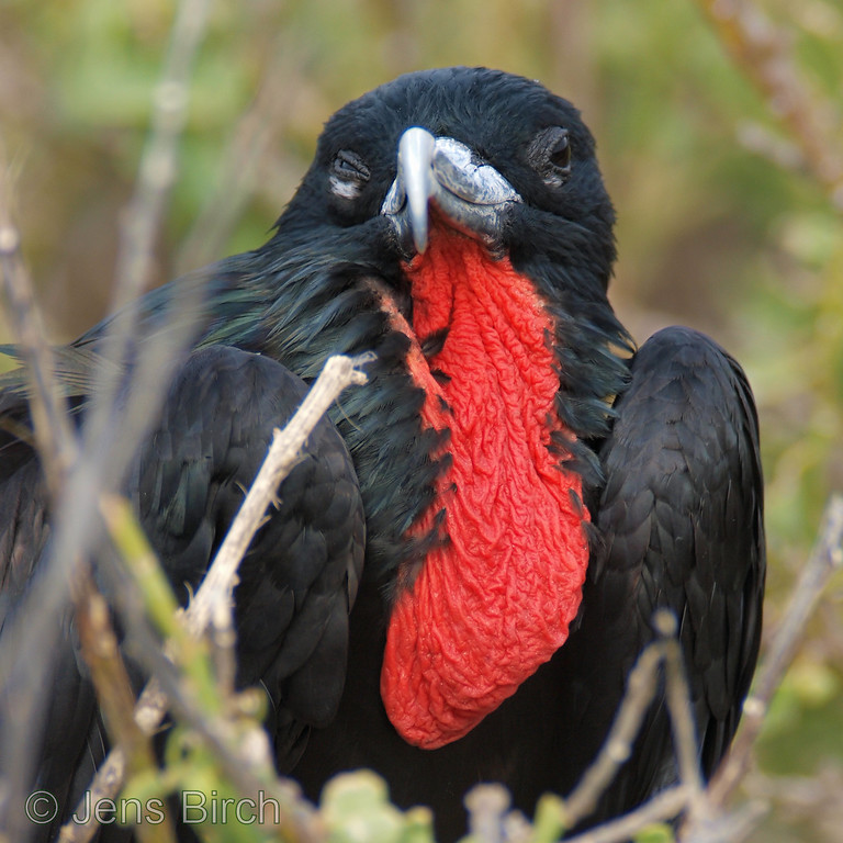 A male great frigatebird chilling in his favourite tree-top at Genovesa. The red skin hanging under its beak will be blown-up to a large red balloon that will help this individual defend its territory and attract females during mating season.