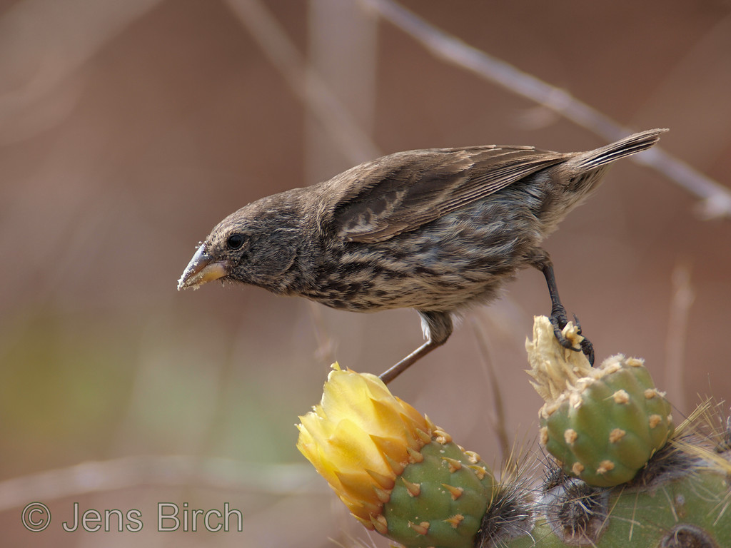 The cactus ground finch is often seen with pollen all over its face after eating something inside the bottom of the opuntia flowers.