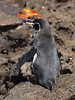 A galapagos penguin drying out at the shore of Bartolomé. A sally lightfoot crab is shining red in the background.